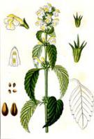 galeopsis.jpg